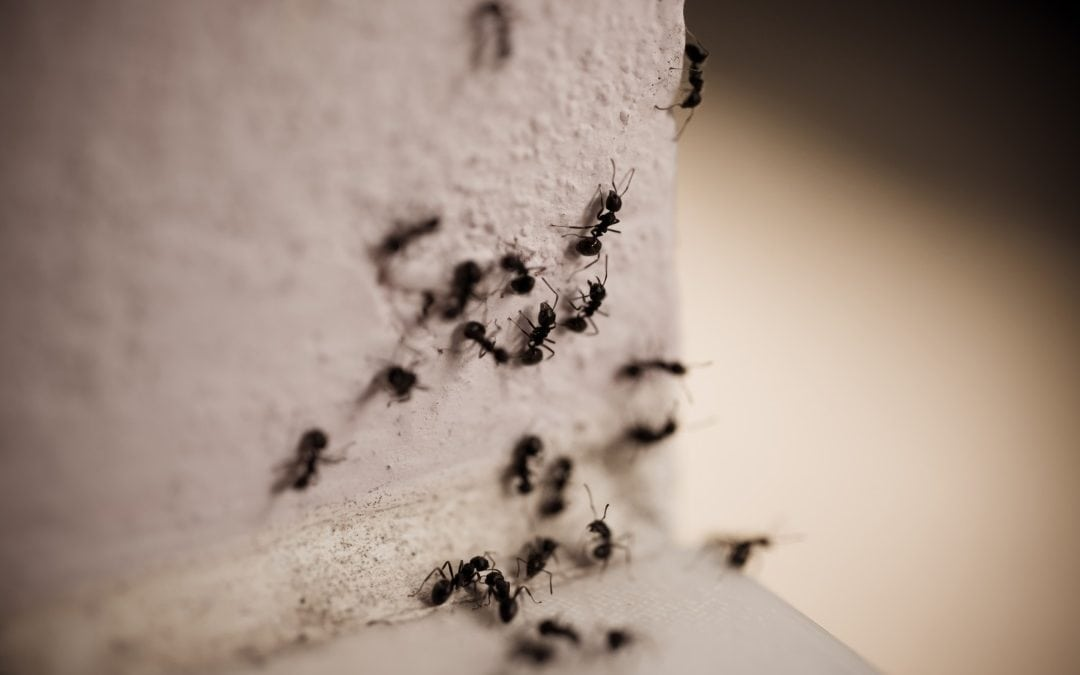 Signs of a carpenter ant infestation in your home