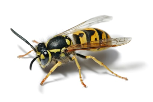 Wasp Removal Service Southeast Michigan